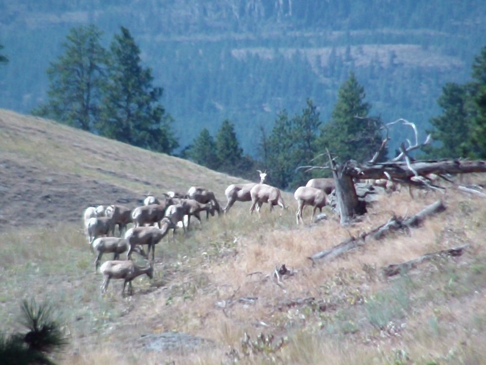 Sheep on Wild Horse Island
